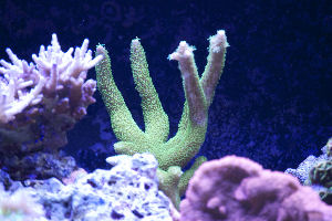 Acropora Staghorn
